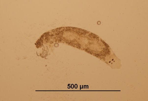 Platyhelminthes monogenea. Platyhelminthes monogenea